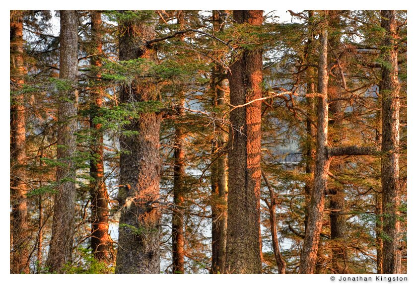 Evening light on conifers near Juneau, Alaska.