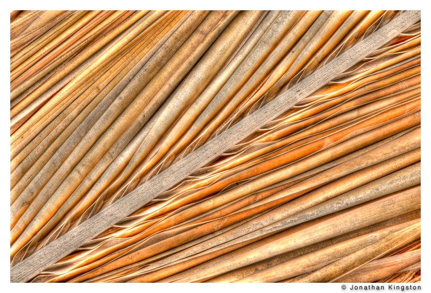 Dried palm frond, Kamehameha coconut palm grove, Molokai, Hawaii.