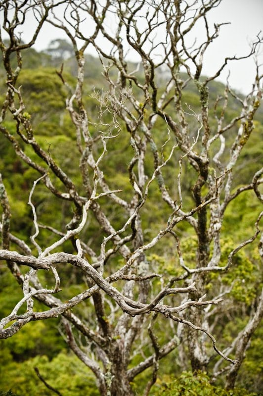Tree branches sculpted by the wind, Kamakou Nature Preserve, Molokai, Hawaii