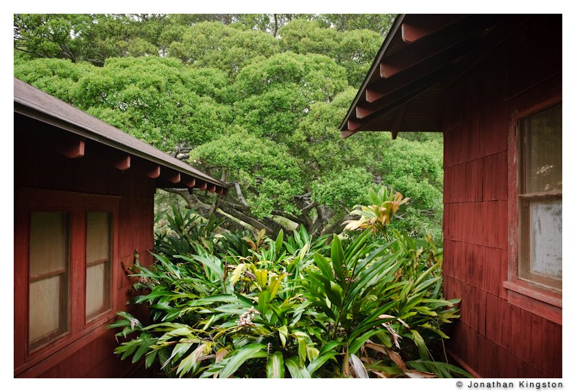 Old Hawaiian home with large Banyan tree in the background, Molokai, Hawaii